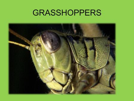 GRASSHOPPERS. What are they? Grasshoppers are insects.