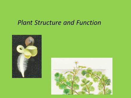 Plant Structure and Function. Angiosperm Structure Three basic organs: 1. Roots (root system) fibrous: mat of thin roots taproot: one large, vertical.