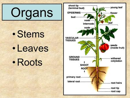 Organs Stems Leaves Roots. Variation in Leaves Number of leaflets Venation Pattern of attachment on stem.