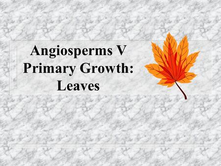 Angiosperms V Primary Growth: Leaves. Leaf Morphology n Leaves are arranged on stems in either an opposite, alternate, or whorled pattern n This arrangement.