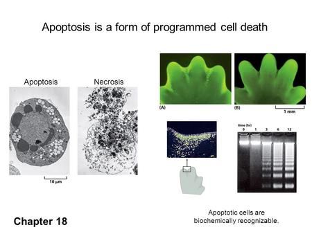 ApoptosisNecrosis Apoptosis is a form of programmed cell death Apoptosis is responsible for the formation of digits in the developing mouse paw. Apoptotic.