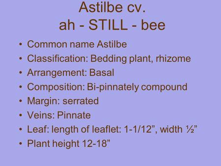 Astilbe cv. ah - STILL - bee Common name Astilbe Classification: Bedding plant, rhizome Arrangement: Basal Composition: Bi-pinnately compound Margin: serrated.