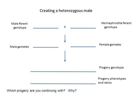 Creating a heterozygous male Hermaphrodite Parent genotype Male Parent genotype X Male gametes Female gametes Progeny genotype Which progeny are you continuing.