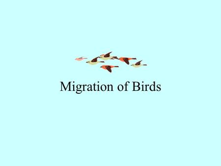 Migration of Birds. Report from Middle Creek Wildlife Area March 8, 2005 Snow Geese 115,000 - 120,000 Tundra Swans 4,100 - 4,300 Canada Geese 1,200.