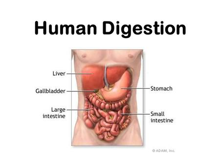 Human Digestion Nutrition Process by which organisms obtain and utilize their food. There are two parts to Nutrition: 1. Ingestion- process of taking.