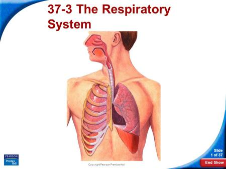 End Show Slide 1 of 37 Copyright Pearson Prentice Hall 37-3 The Respiratory System.