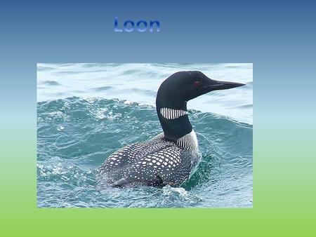 Our animal is called the loon and it is a bird. The loon has a long neck, black and white feathers, and red eyes, but only in the summer. They have.