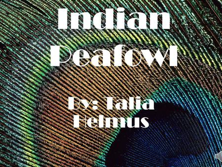 Indian Peafowl By: Talia Helmus.