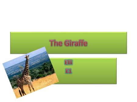 The Giraffe The giraffe is an African mammal. It is the tallest animal that lives on land. The average mass for an adult male giraffe is 1,200kg and the.