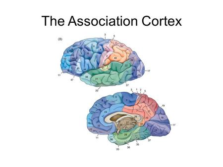 The Association Cortex. The Neocortex The Association Cortices (Brodmann's Areas) space,time, motion, planning, decision making, emotional reactivity,