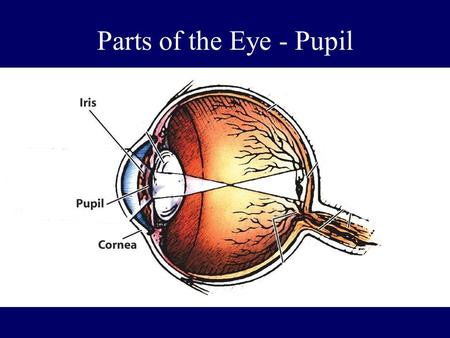 Parts of the Eye - Pupil. Pupil The adjustable opening in the center of the eye that controls the amount of light entering the eye (surrounded by the.