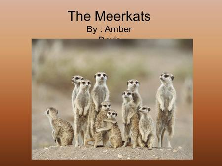 The Meerkats By : Amber Davis. General Information Meerkats fit into the vertebrate group of mammals. The meerkat's scientific name is Suricata suricatta.