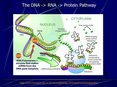 RNA Polymerase = enzyme that makes mRNA from the DNA gene template