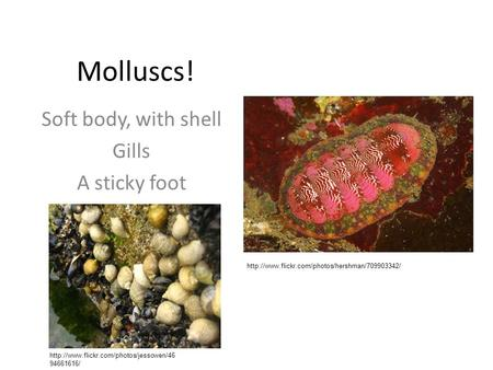 Molluscs! Soft body, with shell Gills A sticky foot   94661616/