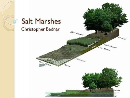 Salt Marshes Christopher Bednar. Introduction Environment in the Coastal Intertidal Zone Transitional environment between land and sea Dominated by halophytes.