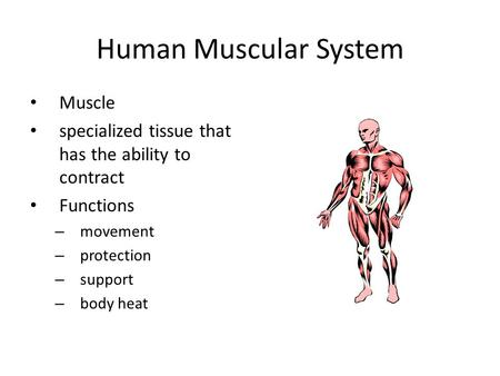 Human Muscular System Muscle specialized tissue that has the ability to contract Functions – movement – protection – support – body heat.