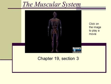 The Muscular System Chapter 19, section 3 Click on the image to play a movie.