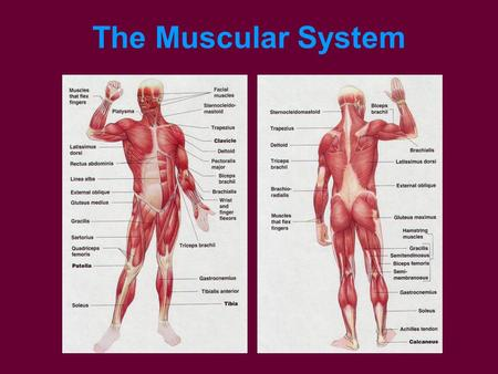 The Muscular System. Four Functions Irritability Contractibility Elasticity Conductivity.
