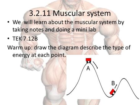3.2.11 Muscular system We will learn about the muscular system by taking notes and doing a mini lab TEK 7.12B Warm up: draw the diagram describe the type.