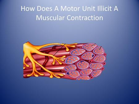 How Does A Motor Unit Illicit A Muscular Contraction.