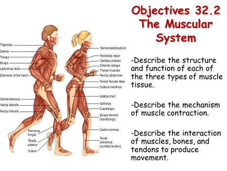 Objectives 32.2 The Muscular System -Describe the structure and function of each of the three types of muscle tissue. -Describe the mechanism of muscle.