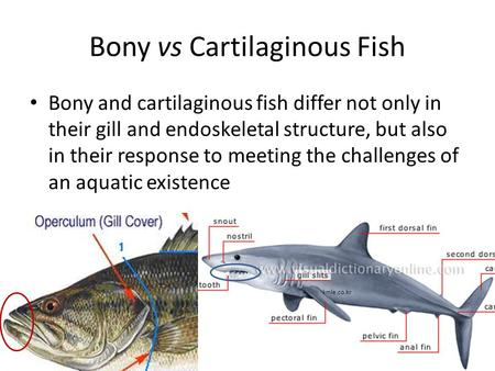 Marine fish part 1 marine fishes fish are divided into for Cartilaginous fish examples