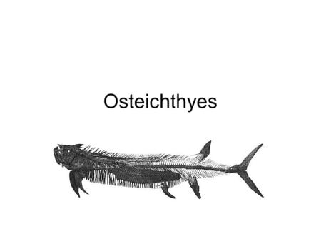 Osteichthyes. Means fish with bony skeletons There are over 20,000 species of bony fish.