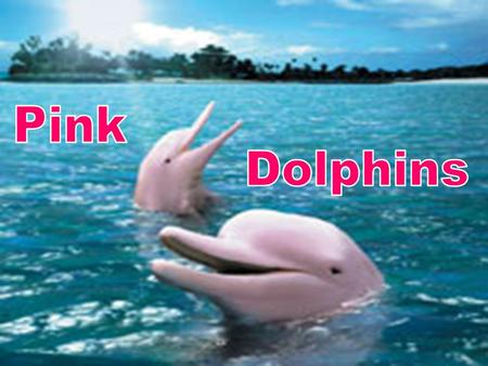 What do Pink Dolphins Eat? Pink dolphins eat crabs, catfish, and small river fish. As some of these species live at the bottom of the river, pink dolphins.
