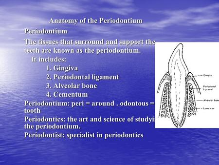 Anatomy of the Periodontium