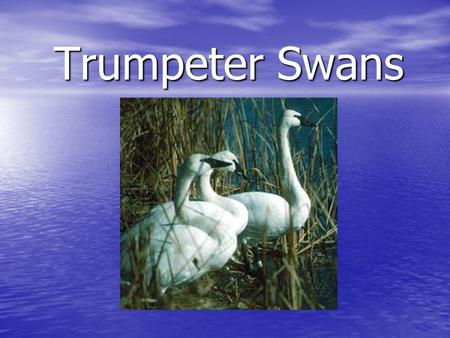 Trumpeter Swans. Trumpeter Swan Information: The Trumpeter Swan is the largest waterfowl species native to North America. The Trumpeter Swan is the largest.