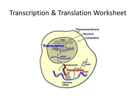 Transcription & Translation Worksheet