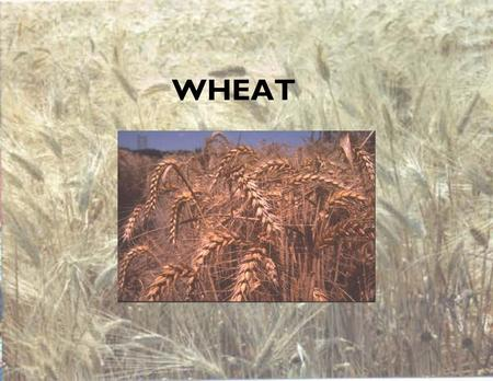 WHEAT. Wheat Most widely cultivated plant in the world Domesticated about 9,000 BC in what is now Northern Iraq.