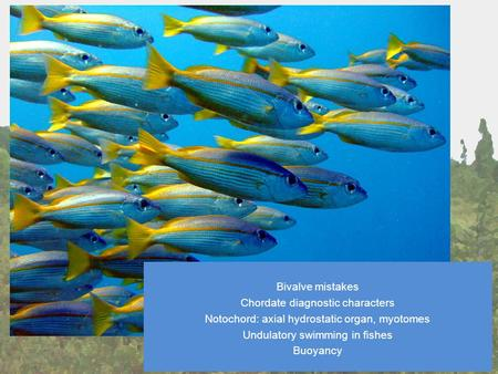 Jan 24 Lecture Bivalve mistakes Chordate diagnostic characters Notochord: axial hydrostatic organ, myotomes Undulatory swimming in fishes Buoyancy.
