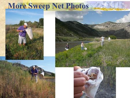 More Sweep Net Photos. Insect Storage & Transport  Container with holes, label  Add food & surfaces  Keep shaded!! Keep Cool!!  Cooler, packing, ice.