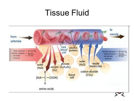 Tissue Fluid. Learning Intentions Explain the differences between blood, tissue fluid and lymph. Describe how tissue fluid is formed from plasma.