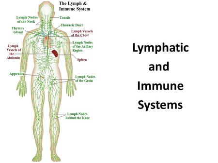 Lymphatic and Immune Systems. Stem Cell Transplants  procedures/stem-cell- transplant/multimedia/stem-cell- transplant/vid-20084647.