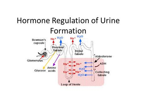 Hormone Regulation of Urine Formation. Antidiuretic Hormone ( ADH)
