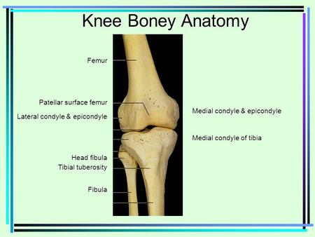 Knee Boney Anatomy Femur Medial condyle & epicondyle