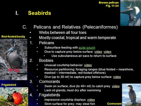 I. I.Seabirds C. C.Pelicans and Relatives (Pelecaniformes) Webs between all four toes Mostly coastal, tropical and warm temperate 1. 1.Pelicans Subsurface.