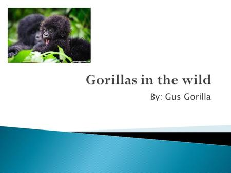 By: Gus Gorilla. I live in the Virunga mountains in central Africa. I live in small groups with some of my friends. We roam the slopes of Rwanda, Uganda,