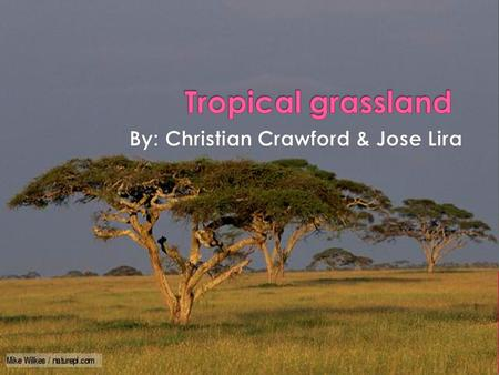  Most grasslands are located between forest and deserts.  About one quarter of the Earth's land is covered with grasslands.  Tropical grasslands are.