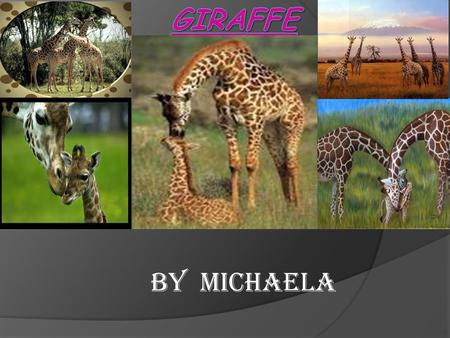 By Michaela. Description of animal  The name of my animal is a giraffe. Giraffes are the tallest mammals in the world. Giraffes have towering legs and.