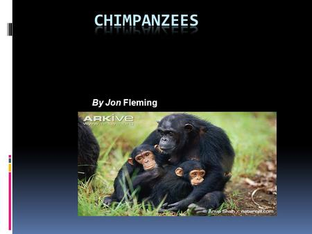 Chimpanzees By Jon Fleming.