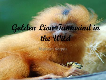 Golden Lion Tamarind in the Wild Myriam Vargas. Table of Contents.