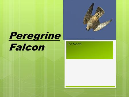 By: Noah Peregrine Falcon. Scientific Name: Peregrinus.