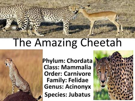 The Amazing Cheetah Phylum: Chordata Class: Mammalia Order: Carnivore Family: Felidae Genus: Acinonyx Species: Jubatus.