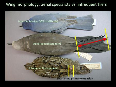 Wing morphology: aerial specialists vs. infrequent fliers Aerial specialist (a tern) Infrequent fliers (a quail) Intermediate (ca. 90% of all birds) Long.