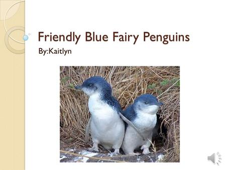 Friendly Blue Fairy Penguins By:Kaitlyn Habitat  The little blue penguin lives in southern Australia, South Africa, Chile and the southern coastline.