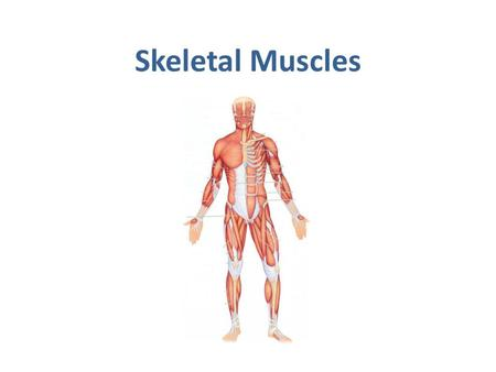Skeletal Muscles. OBJECTIVES  At the end of the lecture, students should be able to: Describe the main criteria of skeletal muscles. Describe the attachments.