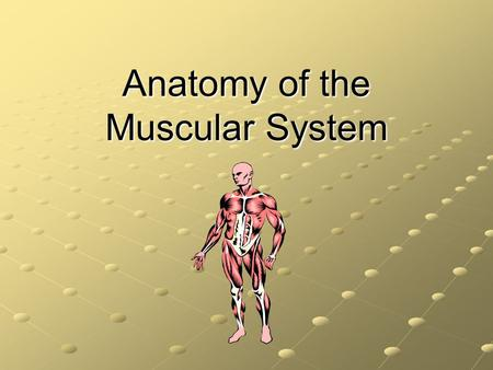 Anatomy of the Muscular System. A Few Facts… There are more than 600 skeletal muscles in the body They constitute 40-50% of our body weight Along with.
